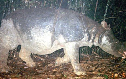Tê giác Java cuối cùng ở Việt Nam. (Ảnh: WWF)