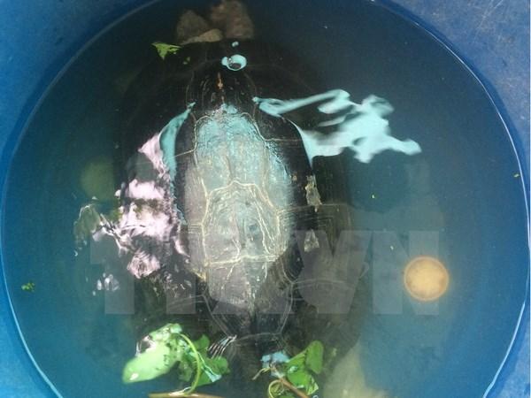 """Bắt được """"cụ rùa"""" hơn 50 tuổi mắc cạn trong ao tôm ở Bạc Liêu"""