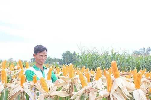 Hiện tại môt số địa phương nông dân đã trồng bắp biến đổi gen như Đồng Nai, Bà Rịa-Vũng Tàu...