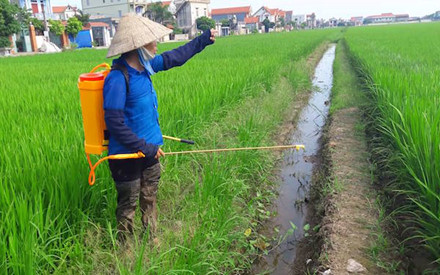 """Bà Phạm Thị Đào, phó chủ nhiệm hợp tác xã thôn Quan Kênh cho biết: """"Cả cánh đồng lúa đang thì con gái nhưng đã bị táp hết lá""""."""