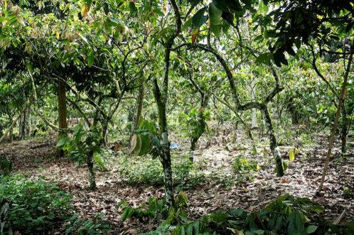 Hệ thống nông lâm nghiệp cacao truyền thống tại Sulawesi. (Ảnh: Trung tâm Nông lâm Thế giới)