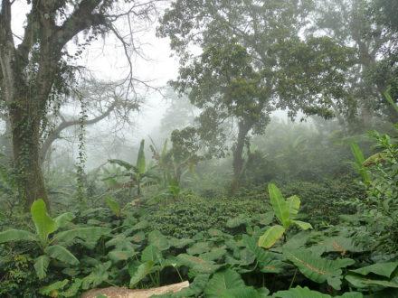 Khu vườn trồng xen nhiều tầng tại Tanzania, cung cấp thuốc, cỏ khô, hoa quả, củi đốt, cà phê và rau xanh. (Ảnh: FAO/David Boerma)