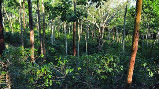 Trồng cà phê dưới bóng râm tại Nicaragua. (Ảnh: Trung tâm Nông lâm Thế giới)