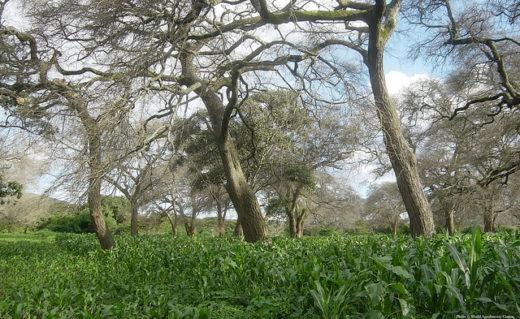 Trồng ngô dưới bóng cây. (Ảnh: Trung tâm Nông lâm Thế giới)