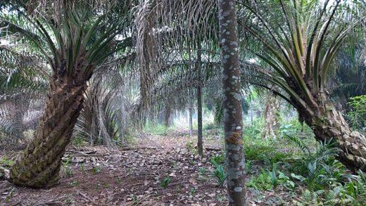 Cọ dầu trồng với một giống cây cho nhựa 'jelutung' và cây dừa. (Ảnh: Trung tâm Nông lâm Thế giới/Robert Finlayson)