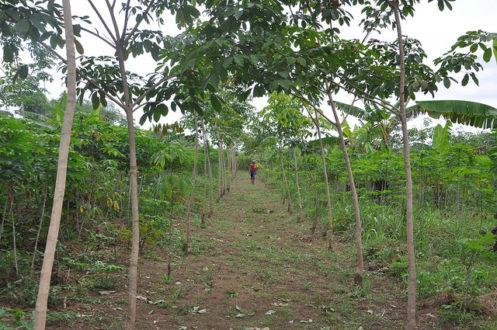 Trồng xen cây lương thực và cây cao su tại Nigeria. (Ảnh: Trung tâm Nông lâm Thế giới)