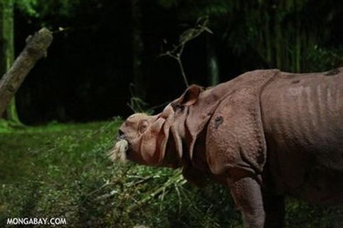 Tê giác Ấn Độ (Ảnh: Rhett A. Butler)