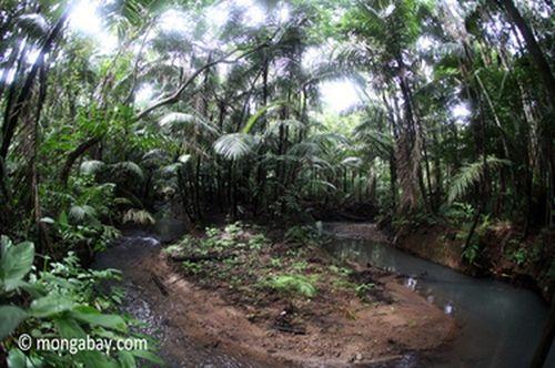 Rừng mưa tại VQG Ujung Kulon. (Ảnh: Rhett A. Butler)
