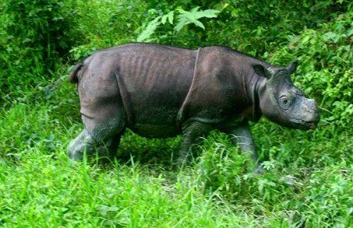 Chú tê giác tên Tam được nuôi nhốt tại bang Sabah, Malaysia. (Ảnh: Jeremy Hance)