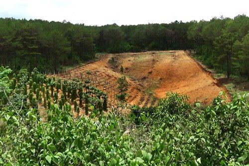 Người dân chặt phá rừng thông để lấy đất canh tác ở tỉnh Gia Lai (Ảnh: Hoàng Thanh)