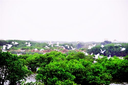 Đàn cò bay về VQG Xuân Thủy ngày một nhiều