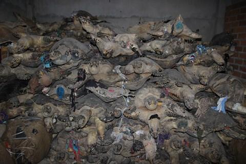 10 tấn xác rùa biển được phát hiện tại Khánh Hòa