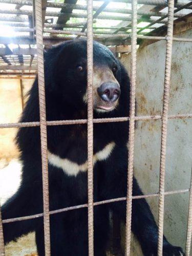Một con gấu bị nuôi nhốt trái phép tại Sơn La