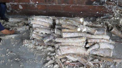 Ngà voi cất giấu trong lô hàng quá cảnh bị phát hiện ngày 26-10-2016 (Ảnh: T.H/Hải Quan)