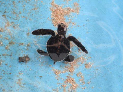 Rùa con được nuôi trong môi trường nhân tạo đảm bảo đủ điều kiện sinh sống trước khi thả ra môi trường tự nhiên. (Ảnh: Nguyễn Thành/TTXVN)