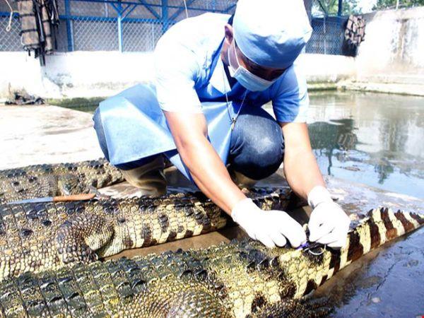 Đến cá sấu cũng 'sợ' thương lái Trung Quốc