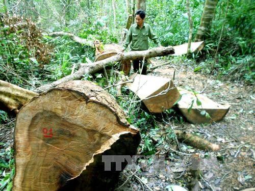 Hiện trường vụ phá rừng phòng hộ huyện Vĩnh Thạnh (Ảnh: Nguyên Linh/TTXVN)