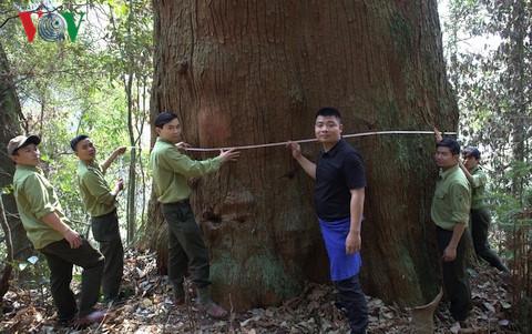Có những cây sa mu dầu nằm trong quần thể được công nhận là Cây di sản việt Nam trong có đường kính lên đến 3,7m cao 50 – 60m.