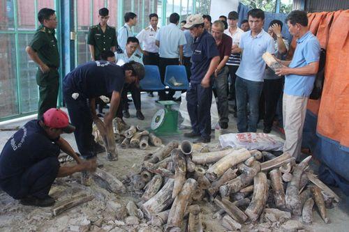 Số ngà voi sau khi được phát hiện. Ảnh: Thu Hòa