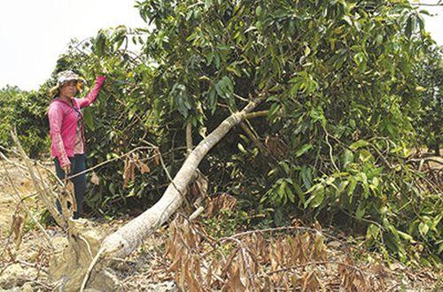 Chị Hoàng Thị Thúy bên những cây xoài nhiều năm tuổi bị hư hại 100%. Ảnh T.N