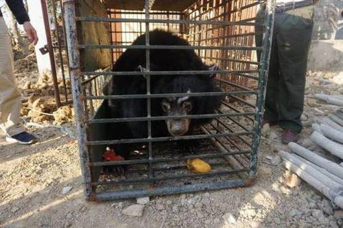 Cá thể gấu ngựa bất hợp pháp tại Hải Dương. Ành: ENV.