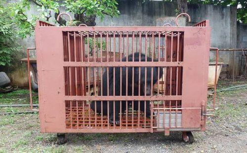 Một trong số 6 cá thể gấu ngựa được tự nguyện chuyển giao tại Đắk Lắk.