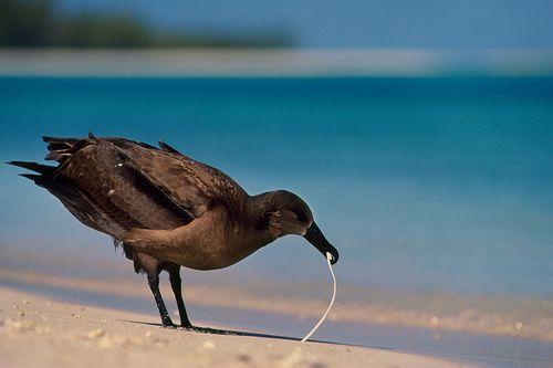 Chim biển ăn nhựa vì bị đánh lừa cảm giác