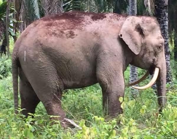 Voi lùn Borneo bị giết lấy ngà ở Malaysia