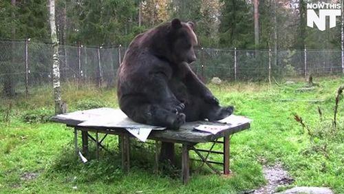 Phần Lan triển lãm tranh của họa sỹ gấu nâu