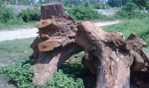 Mục sở thị loại cây quý hiếm sắp cạn kiệt ở Việt Nam