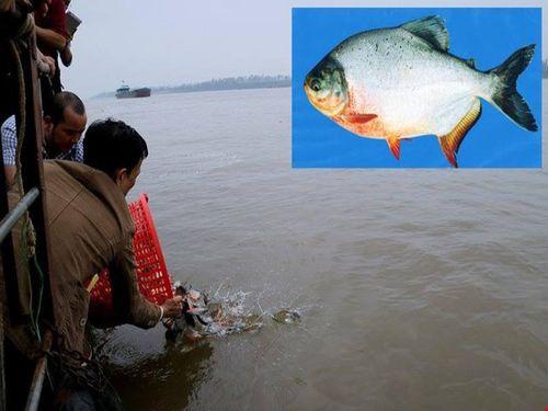 Phóng sinh cá chim trắng: Hậu quả khôn lường!