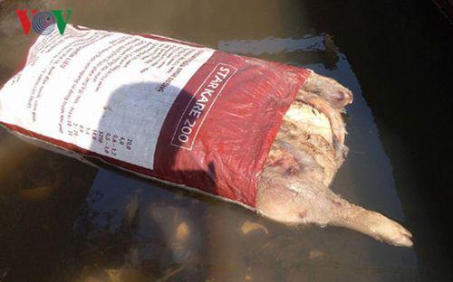 Tiêu hủy, truy tìm thủ phạm vứt xác lợn chết xuống kênh