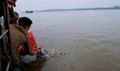 Phóng sinh cá chim trắng xuống sông Hồng: Báo cáo Chính phủ vụ việc