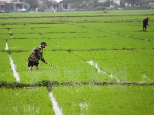 Nông dân Đồng bằng sông Cửu Long vui mừng vì lúa Đông Xuân được giá