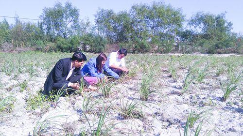 Mô hình trồng sả trên cát hứa hẹn mang lại thu nhập cao