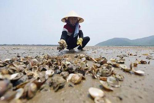 Xử lý tình trạng ngao chết, ngăn ngừa nguy cơ ô nhiễm tại biển Thanh Hóa