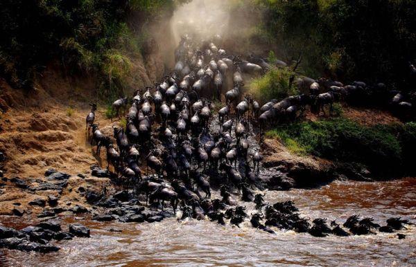 Cuộc đại di cư của đàn dê rừng ở Kenya