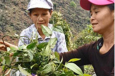 Cạo trọc rừng thuốc quý Việt Nam