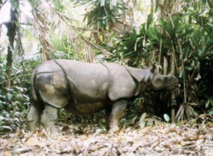 Thiên tai đe dọa những cá thể tê giác Java cuối cùng