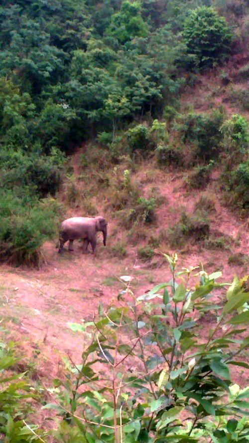 Sơn La: Dân khốn khổ vì voi rừng giết trâu, phá ruộng