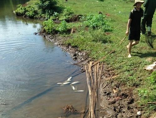 Đắk Lắk: Gần nửa tấn cá chết bất thường nổi trắng hồ Ea Trum