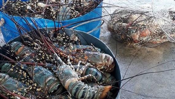 Nhà máy xả thải vô can vụ tôm hùm chết hàng loạt ở Phú Yên