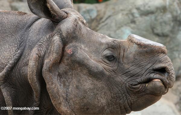 HSI Việt Nam đề nghị chính phủ Nam Phi ngăn chặn đấu giá sừng tê giác