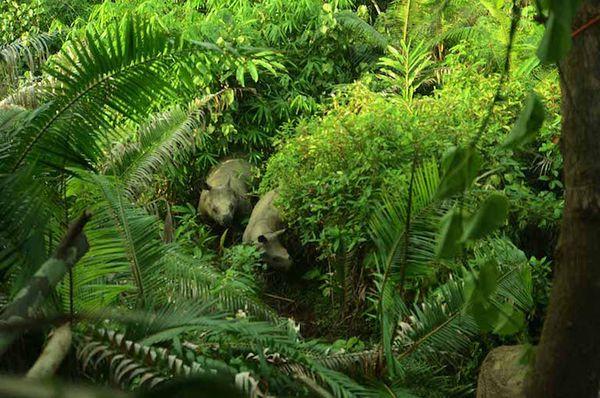 Công cuộc bảo tồn những chú tê giác Java cuối cùng