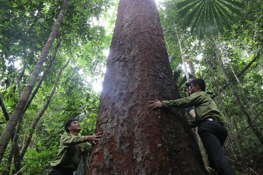 """Dồn sức giữ rừng: """"Đóng dấu mật"""" rừng lim quý"""