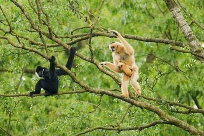 Nghi ngờ có một loài vượn đã bị tuyệt chủng ở Khu Bảo tồn thiên nhiên Sơn Trà