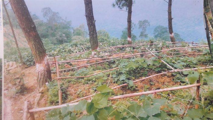 """Thủ tướng yêu cầu Vĩnh Phúc làm rõ phản ánh """"Đốn rừng Thông trồng Su Su"""""""
