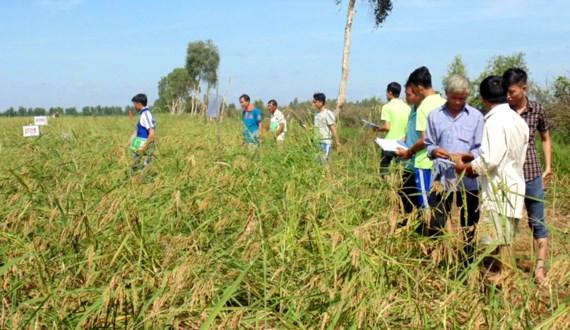 Tìm phương án bảo tồn lúa mùa nổi ở ĐBSCL