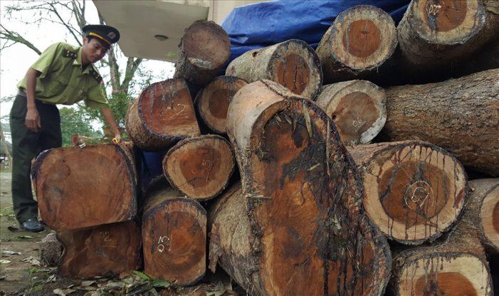Gỗ quý trong rừng thiêng bị đốn hạ, kiểm lâm địa bàn bị dọa giết
