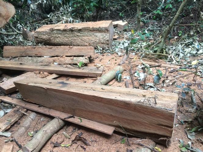 """Lâm tặc lại """"xẻ thịt"""" những cây gỗ lớn Vườn quốc gia Cúc Phương"""